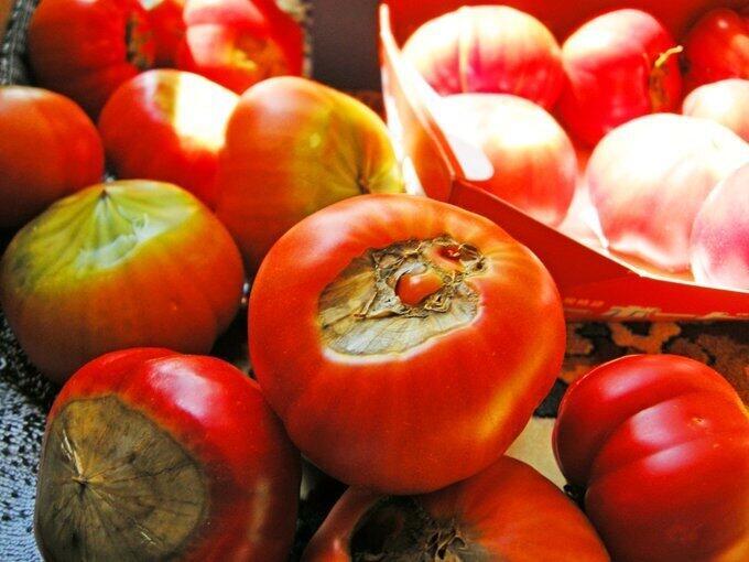 トマトの「尻腐れ果」(曽我ファーム提供)