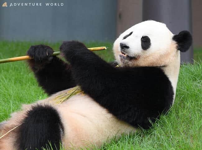 日本のパンダ、まるで人間みたいな扱い 誕生日会まで開催、中国人もびっくり