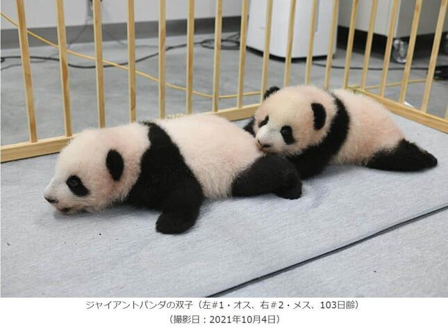 上野動物園サイトの「双子パンダの名前決まる」ページより