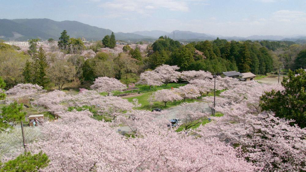 桜が咲き乱れる街 愛知県新城市