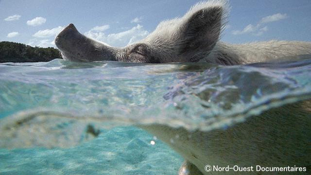 賢くて、愛くるしくて、トリュフ・ハンターの動物...? その名はブタ!