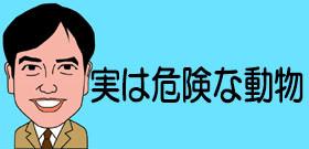 札幌の公園で増えるキタキツネ 致死率90%の怖い病気を媒介するから絶対に触っちゃダメ!