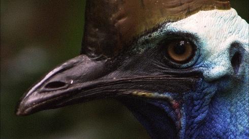 「もっとも危険な鳥」ヒクイドリの意外な素顔!男手一つで子育て奮闘記